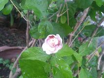 The jasmine flower begin to droop. Jasmine flower  droop nature plant royalty free stock images