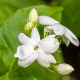 Jasmine Flower en el jardín. Imagen de archivo