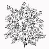 Jasmine Flower Fiori eleganti d'annata Illustrazione in bianco e nero di vettore botanica Fotografia Stock Libera da Diritti