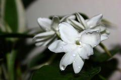 jasmine stock images