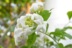 The Jasmine flower Stock Photography