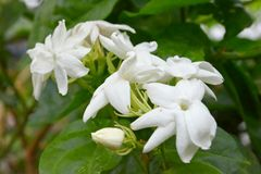 The Jasmine flower stock images