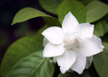 Jasmine flower. Royalty Free Stock Image