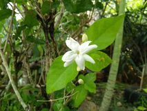 The jasmine flower in the garden. Jasmine flower garden outdoor white stock image