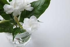 Jasmine flower Stock Photography