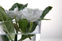 Jasmine flower Royalty Free Stock Photography