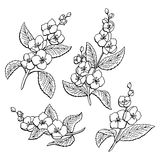 Jasmine flower graphic black white isolated sketch illustration Royalty Free Stock Photography
