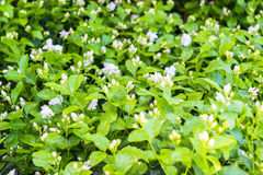 Jasmine Royalty Free Stock Photo