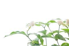 Jasmine flower grow up on white background. Royalty Free Stock Photos