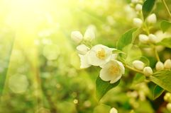 Jasmine flower Stock Photography
