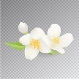 Jasmine Flower Icon realista en fondo transparente Clip-arte del vector Fotografía de archivo