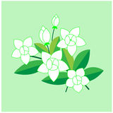 Jasmine flower Stock Photos
