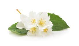 white flower jasmine isolated on white stock photo. Black Bedroom Furniture Sets. Home Design Ideas