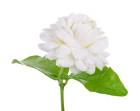 Jasmine flower isolated on white background Stock Images