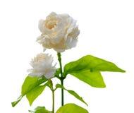 Jasmine flower isolated on white background. Stock Photo