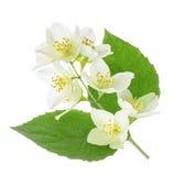 Jasmine flower isolated on white Stock Photo