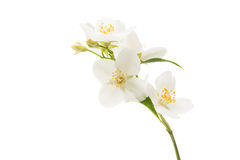 Jasmine flower isolated Stock Images