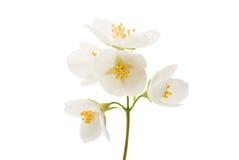 jasmine flower isolated royalty free stock image
