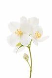 jasmine flower isolated Royalty Free Stock Photo