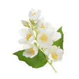 Jasmine flower isolated on white. without shadow Royalty Free Stock Photos