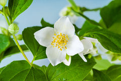 Jasmine flower with leaves Royalty Free Stock Photography