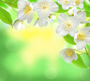 Jasmine flower with leaves over beautiful nature background Royalty Free Stock Images