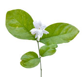 Jasmine flower with leaves Stock Photo