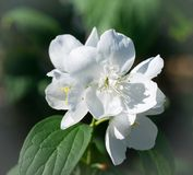 Jasmine flower macro closeup . Philadelphus coronarius L. Blossom jasmine. royalty free stock images