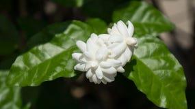 Jasmine. Jasmine flower for mother day Stock Photography