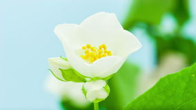 Jasmine Flower Opening Timelapse stock video footage