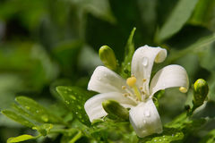 Jasmine flower with spring dew drops. Sun-lighted spring jasmine flower with dew drops is close-up on the blurred green background. The background can be used Stock Images
