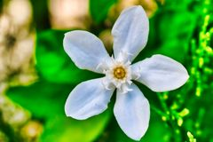 Jasmine flower from Thailand stock images