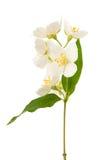 Jasmine flower royalty free stock images