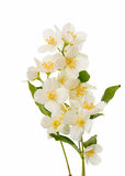 Jasmine flower Stock Images
