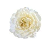Jasmine flower on white background. Royalty Free Stock Image