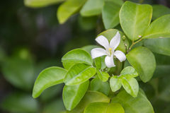 Jasmine Flower. White jasmine flowers on green leaves background Royalty Free Stock Photo
