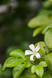 Jasmine Flower. White jasmine flowers on green leaves background Stock Photo