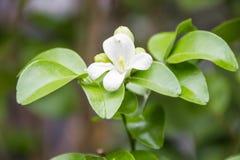 Jasmine Flower. White jasmine flowers on green leaves background Royalty Free Stock Images