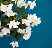 Jasmine flower Stock Images