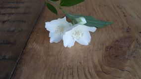 Jasmine flower. On the wooden flour Stock Photography