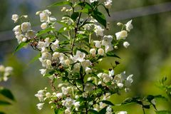 Jasmine flowering in late May stock photos