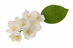 Jasmine flowers. Isolated in white Royalty Free Stock Photos