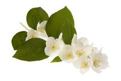 Jasmine flowers. Isolated in white Stock Photos