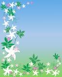 Jasmine flowers Royalty Free Stock Photos