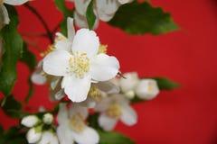Jasmine flowers Royalty Free Stock Images