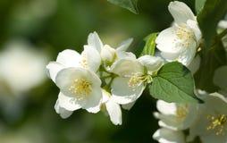 Jasmine flowers. Beautiful jasmine flowers in bloom Stock Photography