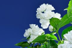 Jasmine Flowers Against Blue Sky Background Royalty Free Stock Images