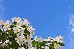 Jasmine flowers against the blue sky. Royalty Free Stock Images