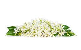 Jasmine flowers. Beautiful Jasmine flowers isolated on white background stock photography