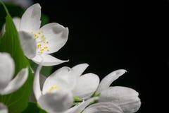 Jasmine flowers on black Stock Image